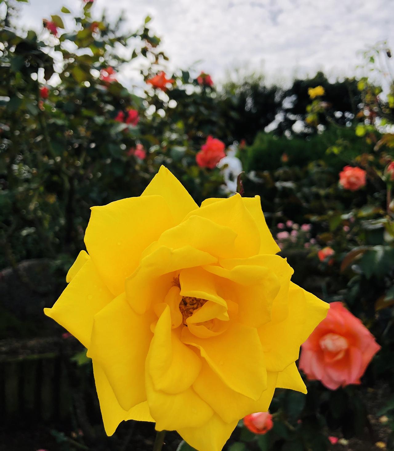 バラの写真11