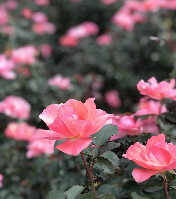 バラの写真8