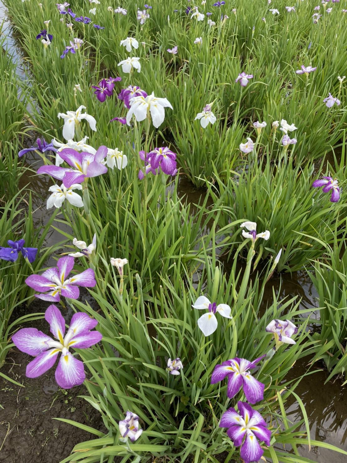 小岩菖蒲園の園内の写真
