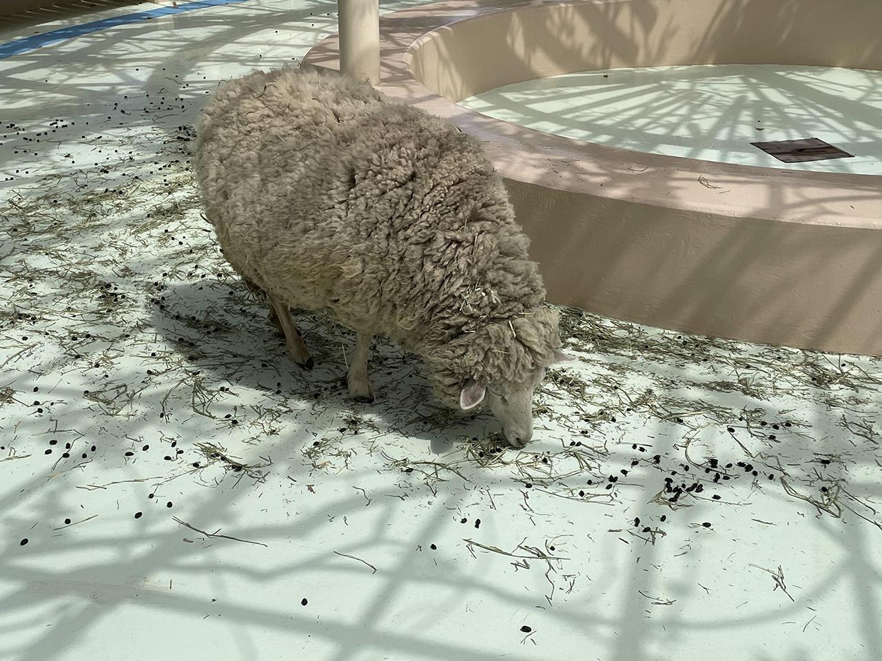 草を食べている羊の写真