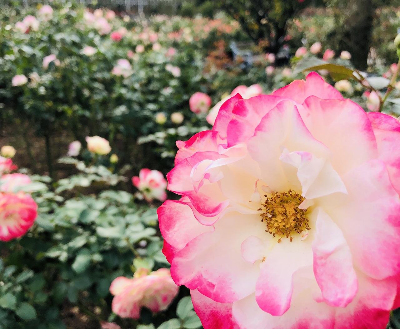 バラの写真4