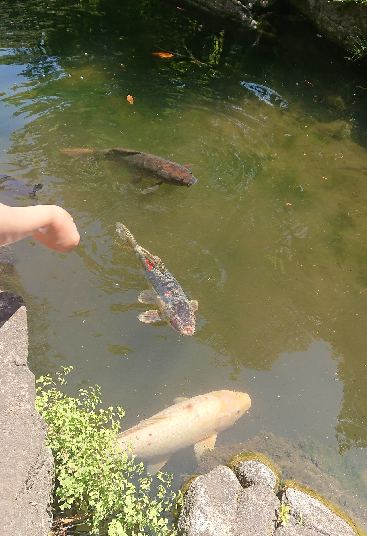池の鯉にエサをあげる写真
