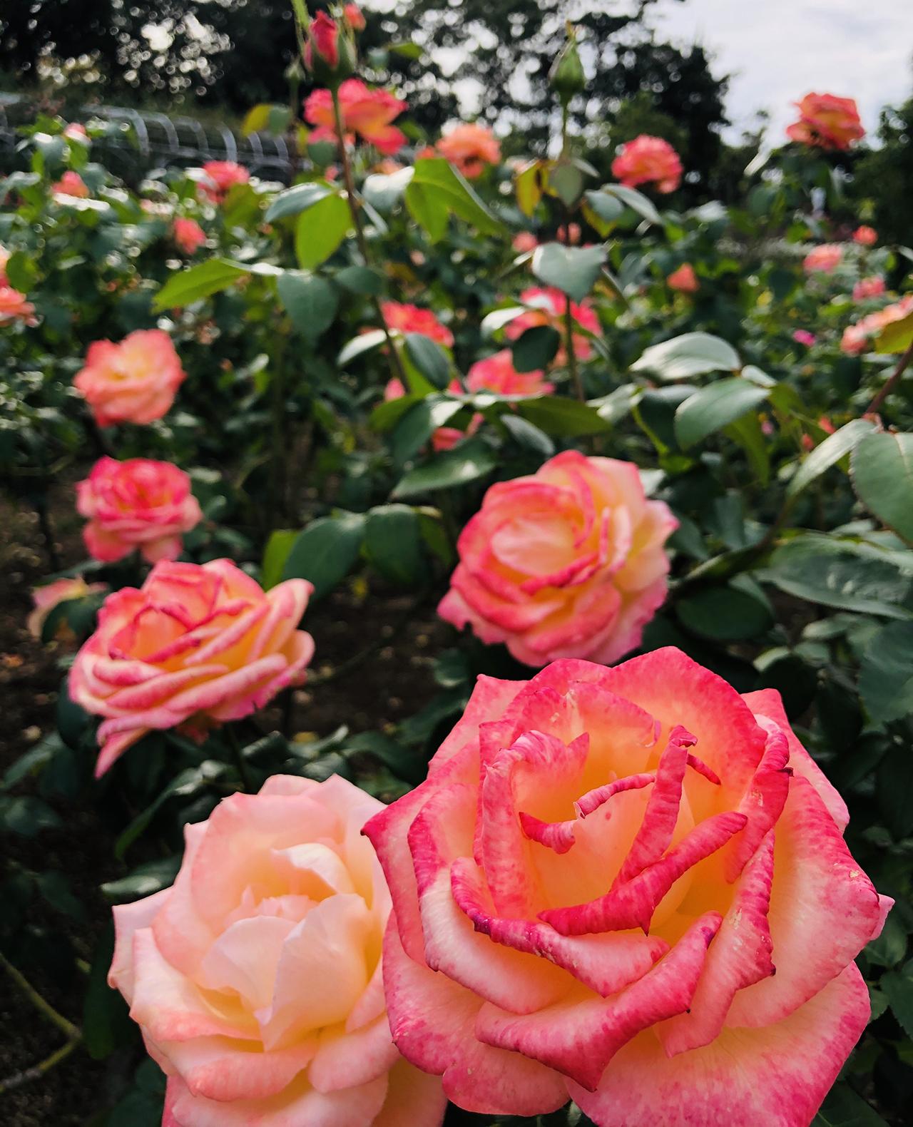 バラの写真3