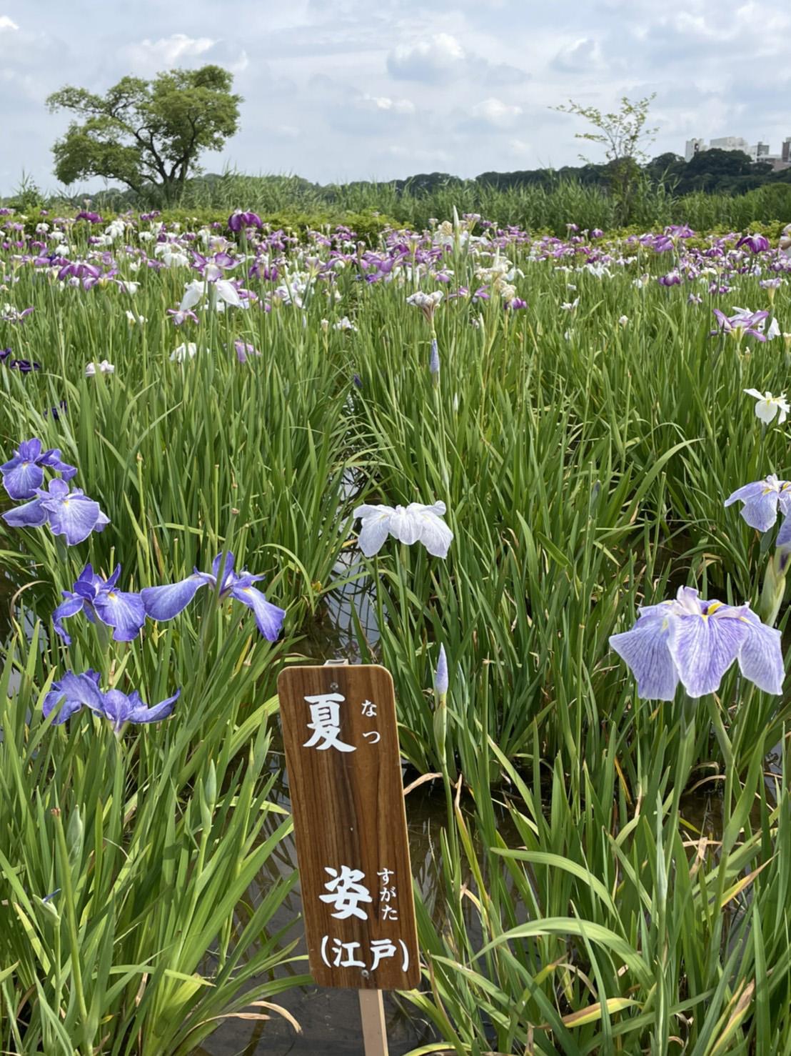 花菖蒲「夏姿」の写真