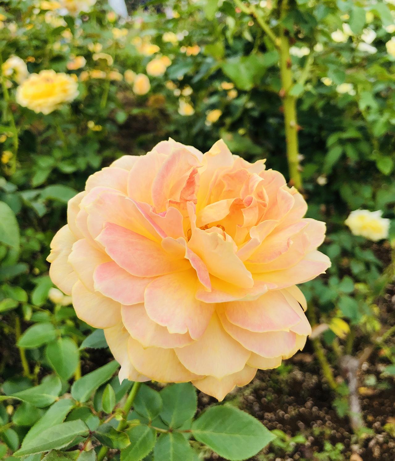 バラの写真10