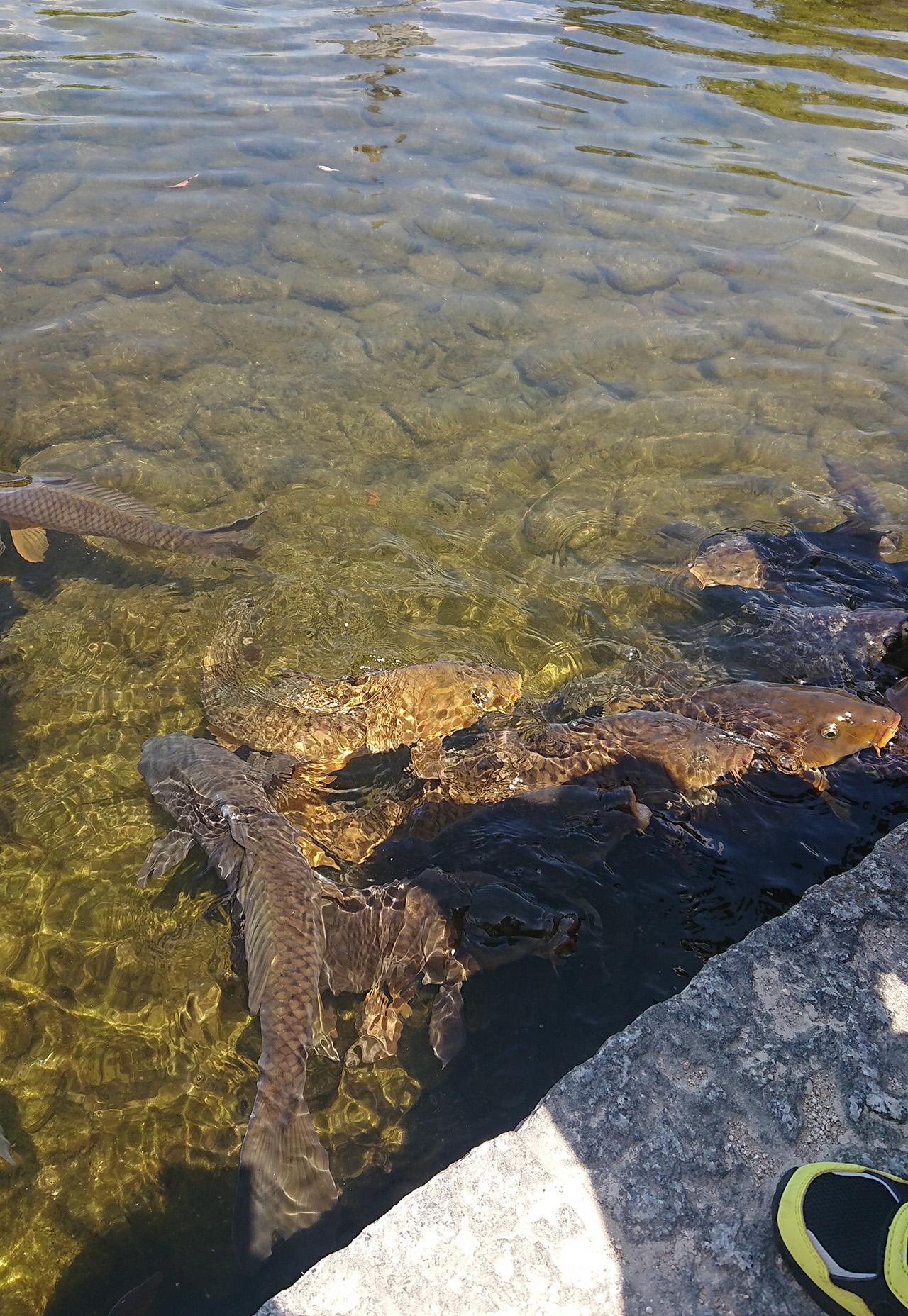 池の中で泳いでいる鯉の写真