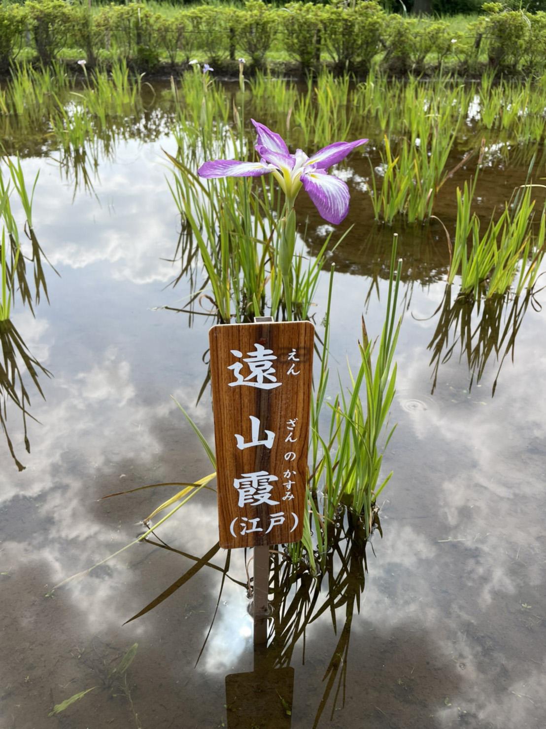 花菖蒲「遠山霞」の写真