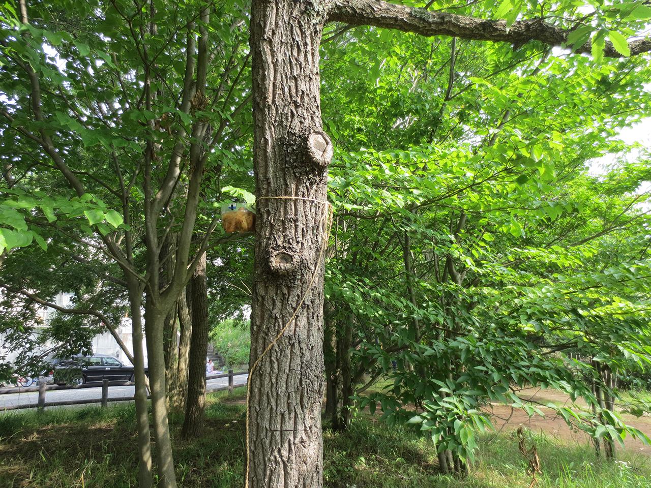 公園内のクヌギの木に仕掛けられた罠の写真