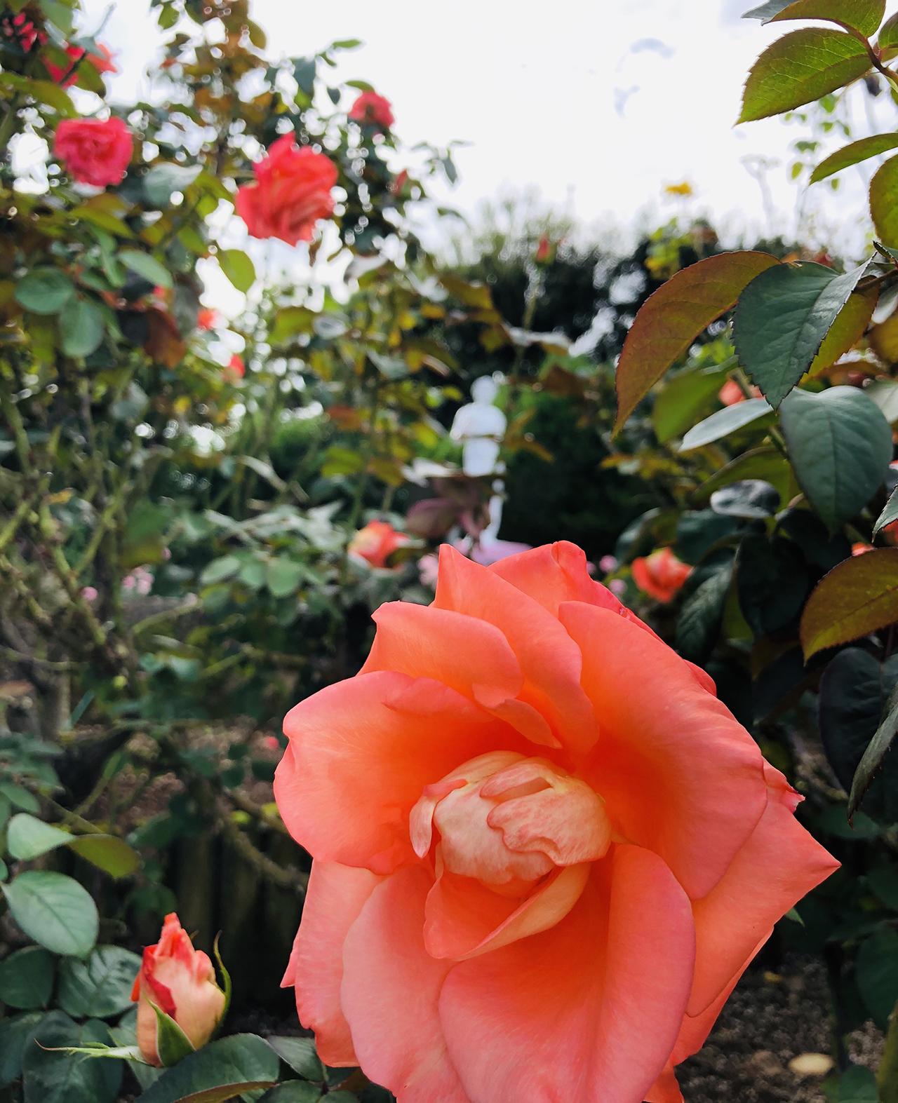 バラの写真9