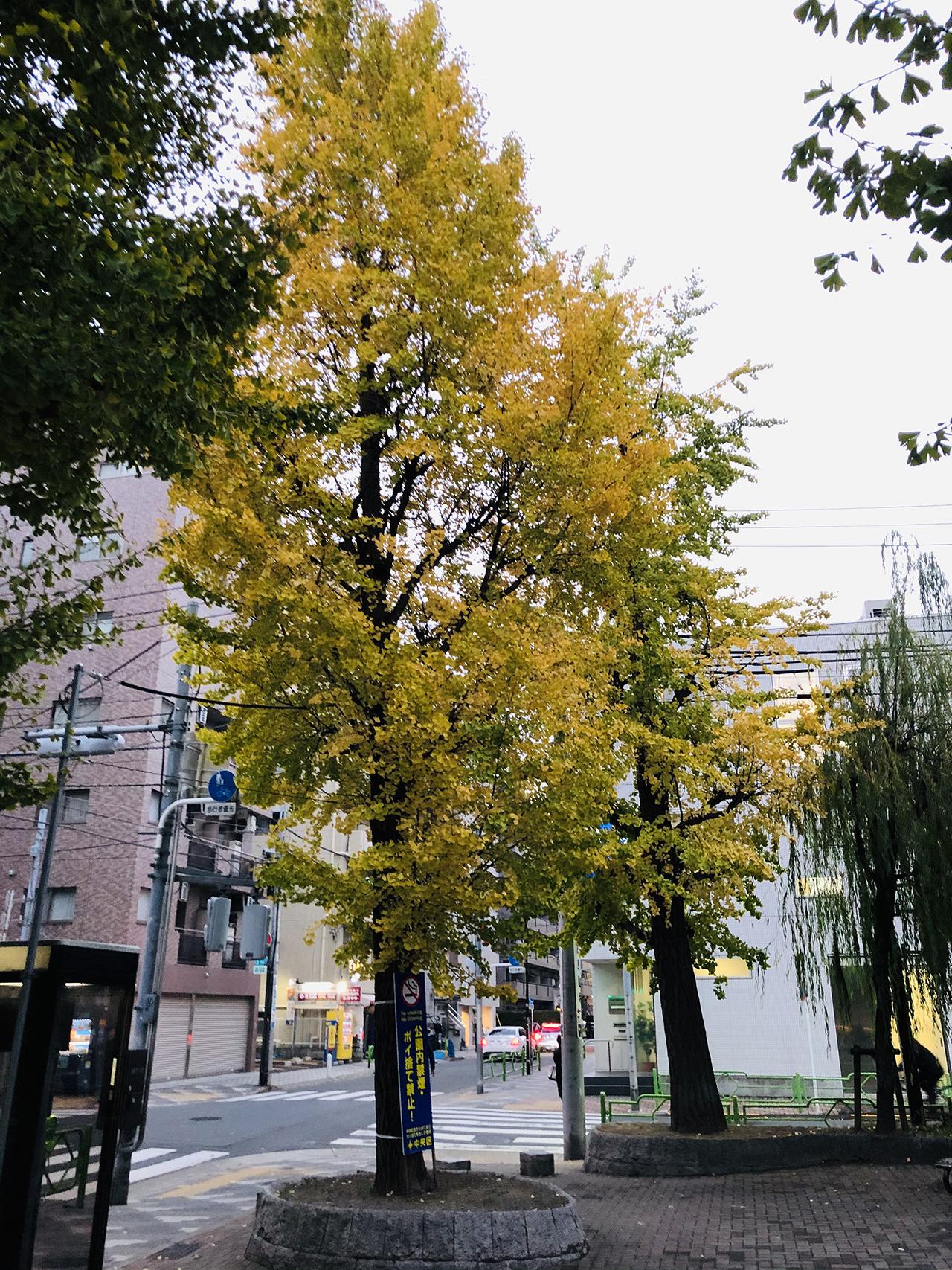イチョウの木の写真