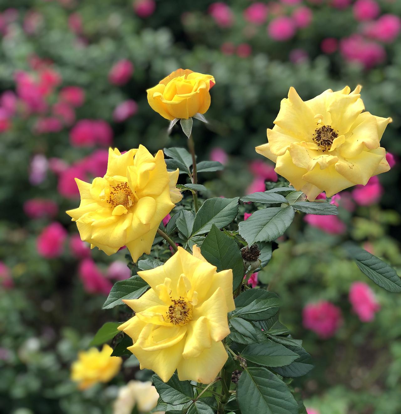 バラの写真2